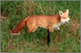 Foxxy Fox Decoy